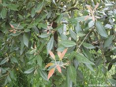 Quercus ilex (steeneik)