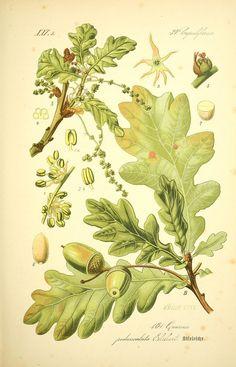 Prof. Dr. Thomé's Flora von Deutschland, Österreich und der Schweiz, in Wort…