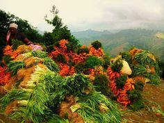 Haitian Season - Fresh organic carrots and leaks from the Mountain tops of Furcy Barbados, Jamaica, Santa Lucia, Honduras, Belize, Costa Rica, Panama, Trinidad E Tobago, Haitian Art