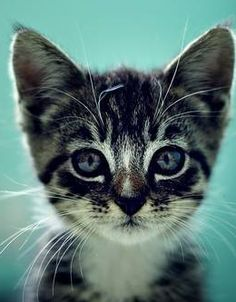 Tabby kitten with blue eyes... How could anyone resist this? <3