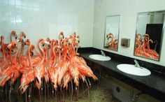 Flamingos taking refuge in a bathroom at Miami-Metro Zoo, Sept. 14, 1999, as tropical-storm force winds from Hurricane Floyd approached the Miami area.