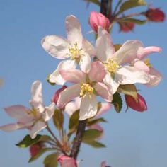 malus 39 adirondack 39 rated as a superior crabapple red buds open to white blossoms tinged with. Black Bedroom Furniture Sets. Home Design Ideas
