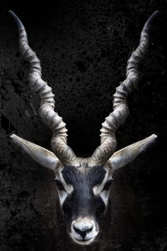 ♂ Interesting animal face...I always consider the main physical feature of the animal as the key compositional element. Photograph/Salvatore Arone #symmetry #portrait #animal