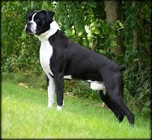 Image Result For European Boxer Dog Black Brindle Boxer Boxer Puppies White Boxer Dogs