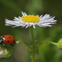 Ladybug, ladybug fly away home....