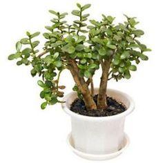 Crassula ovata : arrosage, taille et entretien