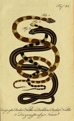 Herrn de la Cepede's Naturgeschichte der Amphibien, oder der enerlegenden vierfussigen Thiere und der Schlangenby BioDivLibrary on Fl...