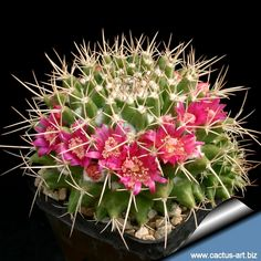 Mammillaria Compresa - Buscar con Google