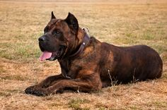 A mastiff breed from the Canary Islands, the Presa Canario has a commanding appearance and may even be a potentially dangerous guard dog if raised by an inexperienced owner. Mastiff Breeds, Dog Breeds, Cute Cats And Dogs, Big Dogs, Cute Puppies, Dogs And Puppies, Doggies, Pet Supplements, Cane Corso