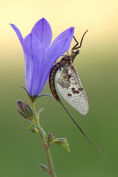 """Ephemeroptera: """"And God said to the Mayfly 'have a nice day'"""" Beautiful Bugs, Beautiful Butterflies, Beautiful Flowers, Beautiful Things, Mayfly, A Bug's Life, Bugs And Insects, Chenille, Fauna"""