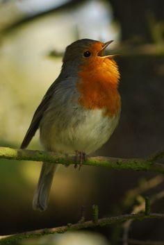 Kittike oldala - G-Portál European Robin, Robin Bird, Autumn Forest, Watercolor Artwork, Autumn Inspiration, Bird Watching, Beautiful Birds, Woodland, Nature Photography