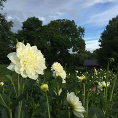 """Lady Natalie also known as """"Daves tall white"""" here at W.G are so big I feel like I'm in a cornfield! July Flowers, Birth Month Flowers, Summer Special, Flower Images, Gardening For Beginners, Special Events, Thankful, Garden Ideas, Instagram Posts"""