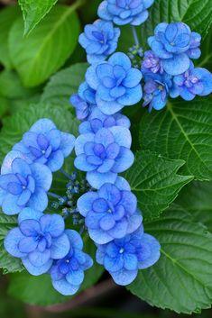 Flowers Nature, Exotic Flowers, Amazing Flowers, Beautiful Flowers, Hortensia Hydrangea, Hydrangea Macrophylla, Hydrangeas, Blue Garden, Herb Garden