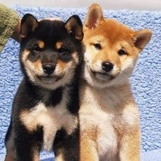 """""""#NotAllShibas"""" 