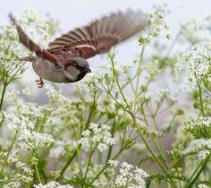 bird flying through queen anne's lace