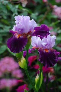 Iris 'Costa Rica' Tall Bearded - La Pietra Rossa Garden in Italy - Photo Maurizio Usai