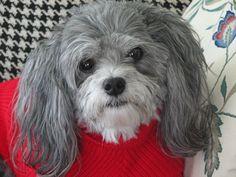 Sweet Belle - Malti-Poo ... JhC #Dog #Pet
