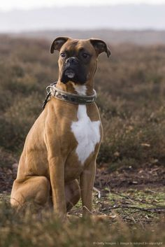 Boxer dog (Canis lupus familiaris) sitting in field, England, UK