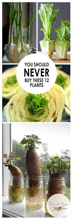 You Should NEVER Buy These 12 Plants| Vegetable Gardening, Vegetable Gardening Tips and Tricks, Plants You Should Never Buy, Easy to Grow Vegetables, Vegetables That Are Easy to Grow, Popular Pin Find more content similar to this at howhesraised.net