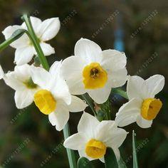 100pcs flower daffodil,daffodil seeds(not daffodil bulbs)bonsai flower. | wonderfestgifts.com