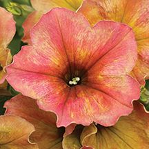 39416 - Terracotta Crazytunia Hybrid Novelty Petunia. Get yellows, pinks, peaches and magenta colors on one plant. Color and pattern changes with every bloom!