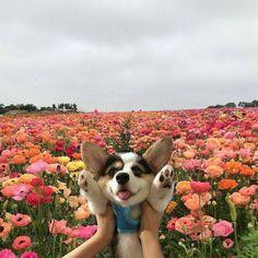 Cute Corgi, Cute Puppies, Dogs And Puppies, Corgi Dog, Baby Corgi, Cute Baby Animals, Animals And Pets, Funny Animals, Cute Creatures