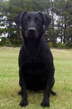 Labradors are relatively large, with males typically weighing 29 to 41 kg (64 to 90 lb) and females 25 to 32 kg (55 to 71 lb). #labradors