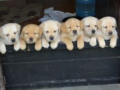 cute-puppy-labs.jpg 736×552 pixels