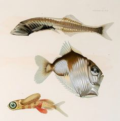 Résultats des campagnes scientifiques accomplies sur son yacht - Biodiversity Heritage Library --  more scary fish