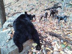 Plott and bluetick coonhound hunting black bear