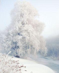 Winter white - icy blue frosty tree - frozen woodland