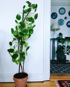 The tallest Pilea I have ever seen