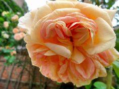 A rose in Viborg, Denmark.