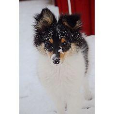 We love snow ❄️☃❤️ #sheltiemilou