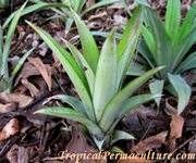 EASY GROW pineapple plant TIPS