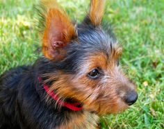 Lily the Australian Terrier