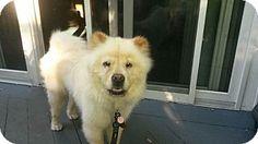 Dix Hills, NY - Chow Chow. Meet Kodiak, a dog for adoption. http://www.adoptapet.com/pet/13933294-dix-hills-new-york-chow-chow