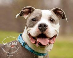 Adopt Capone On Pitbull Terrier Bull Terrier Dog Dogs