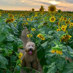 Vote for Dan (Goldendoodle - Mississippi) in the 2014 Good Dog Photo Contest! You can vote once per day from each device you own!