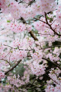 Cherry Blossom at setagaya