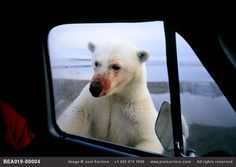 A polar bear, fresh from feeding on whale remains, peeks in the window of a truck near Kaktovik, Alaska. Joel Sartore
