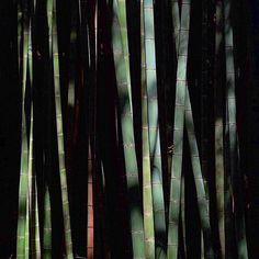 【k_taro.o_o】さんのInstagramの写真をピンしています。《竹林の光と影。太さにより色合いが少しずつ違いますね。赤茶色の竹が気になります。今日も光ってる竹はありませんでした。#竹林 #竹 #林 #bamboo #木 #樹木 #tree #forest #woods #写真好きな人と繋がりたい #写真撮っている人と繋がりたい #東京カメラ部 #tokyocameraclub #fujifilm #fujifilmxt10 #xt10 #K_taro_Nature》