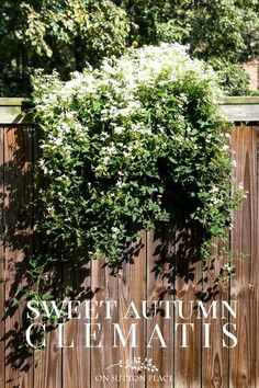 Sweet Autumn Clematis | A Fall Blooming Beauty. Tips for growing, supporting, and pruning sweet autumn clematis. Blooming Sweet Autumn Clematis on a fence.