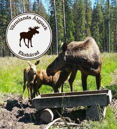 Wanderlust, Finland, Denmark, Norway, Sweden, Moose, Park, Places To Visit, Wildlife