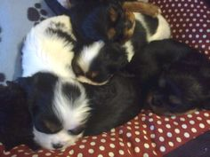 sleeping spot and cavalier puppies