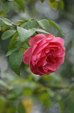 Beautiful Flowers Wallpapers, Beautiful Rose Flowers, Flowers Nature, Amazing Flowers, Morning Rose, Good Morning Flowers, Knockout Roses Care, Rose Color Meanings, Landscaping