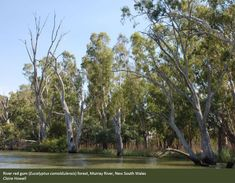 australian eucalypt forest - Google Search Golf Courses, Country Roads, Google Search