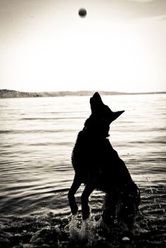 German Shepherd Photography 5 #germanshepherd