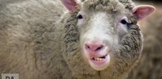 Dolly the sheep didn't develop premature arthritis - https://www.deviantworld.com/science-technology/dolly-sheep-didnt-develop-premature-arthritis/