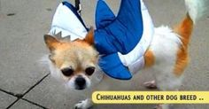 dog-chihuahua-parade - dogisto.com